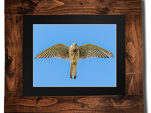 Kestrel - Framed artwork