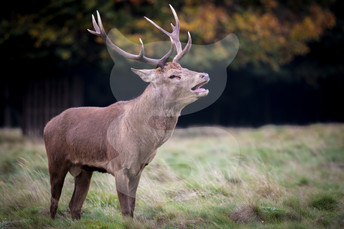 Calling red deer stag