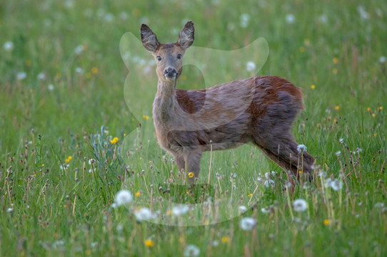 Female roe deer on the lookout in long grass