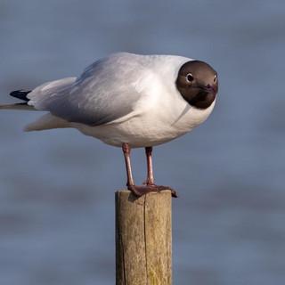 Black-headed Gull >>