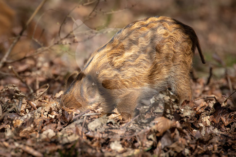 Wild boar piglet learns to forage