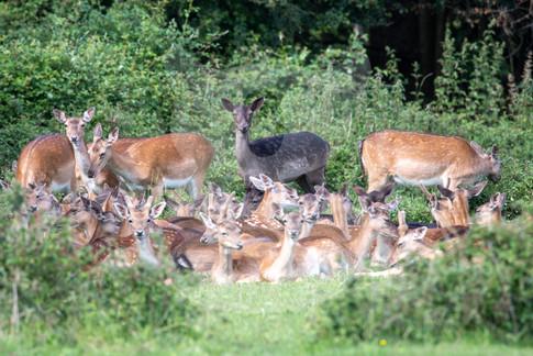 Group of relaxing fallow deer