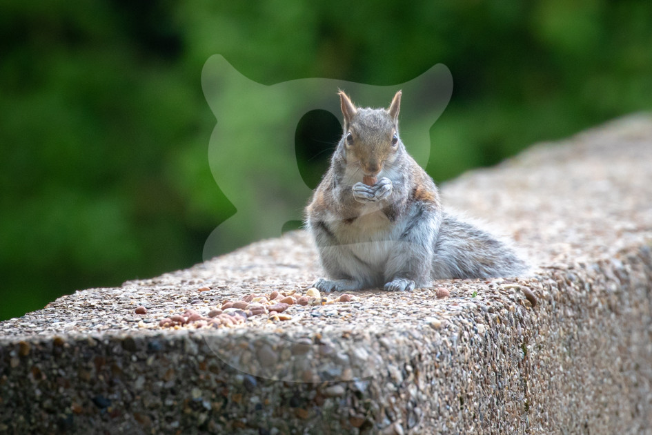 Grey squirrel eating peanuts