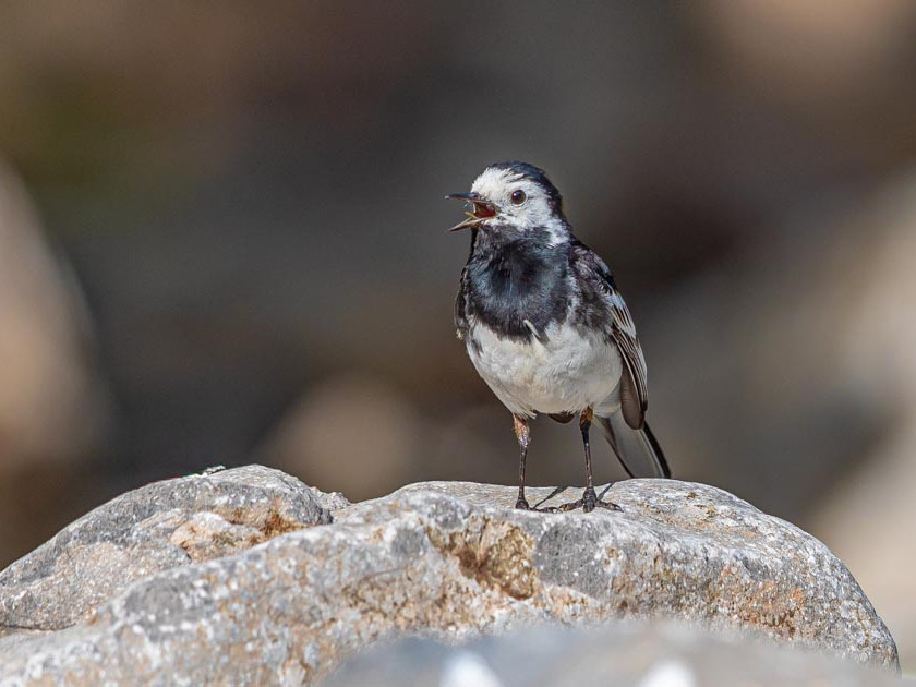 Alarmed White Wagtail