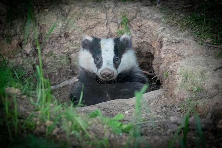 Badger looking from sett