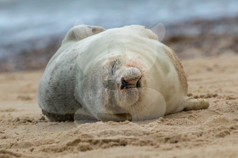 Grey seal pup sleeping