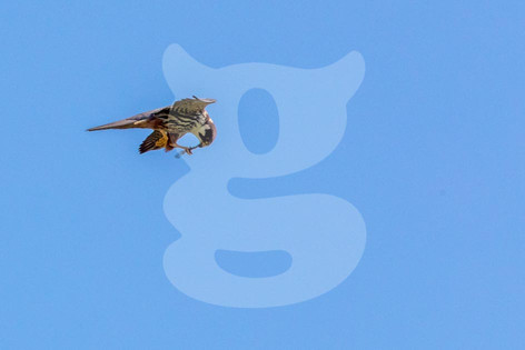 Hobby hunting dragonflies