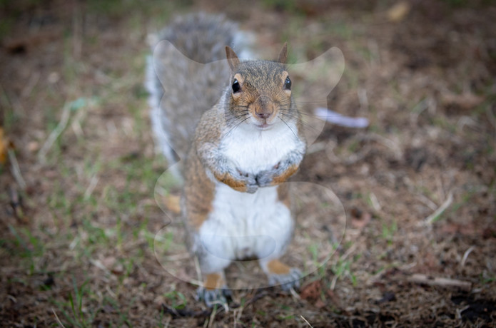Grey squirrel asking for more