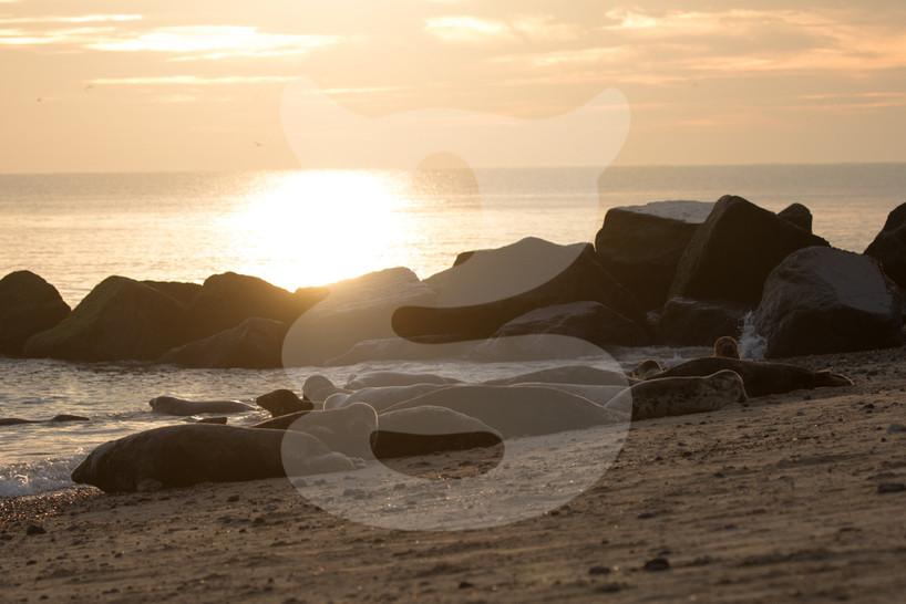 Grey seals at sunrise