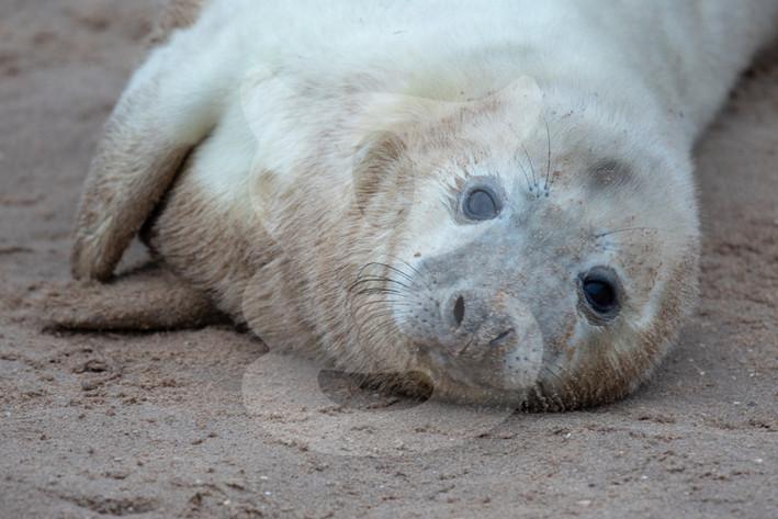 Grey seal pup, Donna Nook