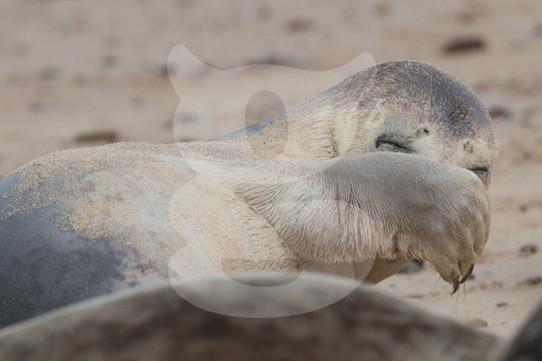 Bashful grey seal