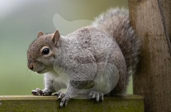 Young grey squirrel
