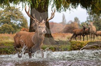 Red Deer crossing water