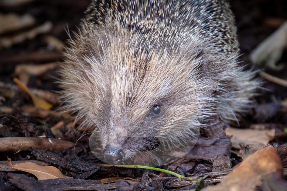 One eye hedgehog