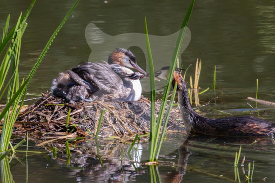 Great Crested Grebe pair with chicks