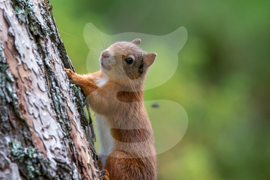 Red squirrel climbing tree