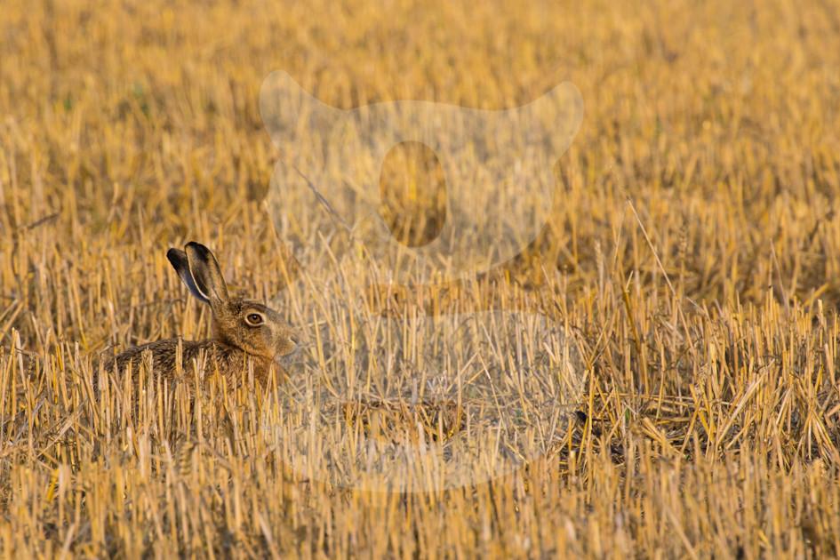 Brown hare relaxing in a freshly cut corn field