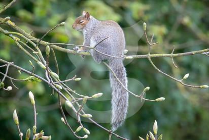 Sleepy grey squirrel in tree