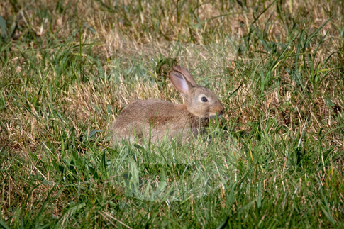 Young rabbit hiding in the grass