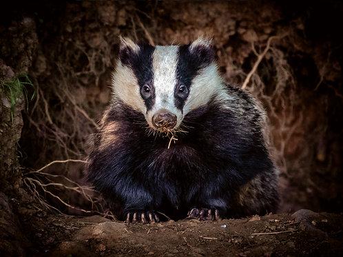 Bold Badger