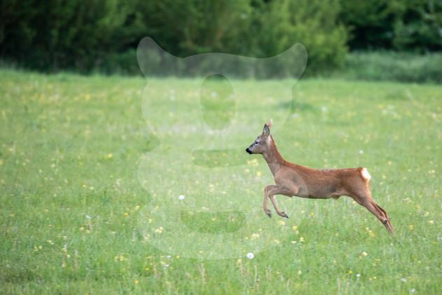 Leeping roe deer