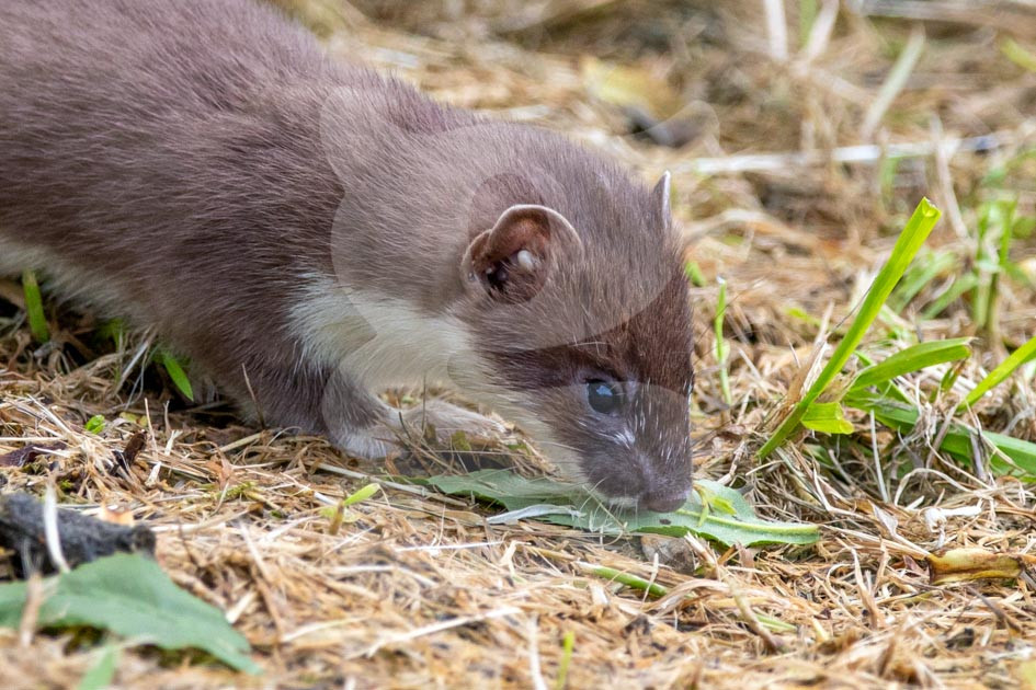 Stoat sniffing a leaf