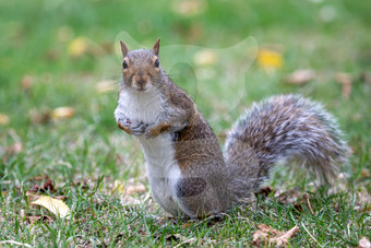 Grey squirrel on the lookout
