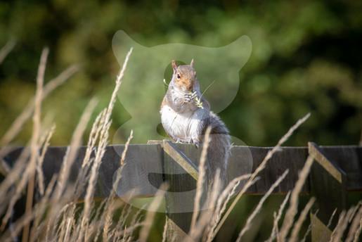 Grey squirrel eating corn head