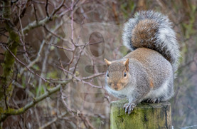 Grey squirrel on fence post
