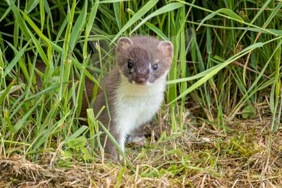 Interested stoat, Northumberland