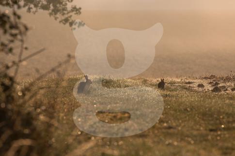 Misty morning rabbits