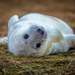 Grey Seal >>