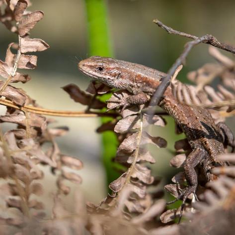 Common Lizard >>