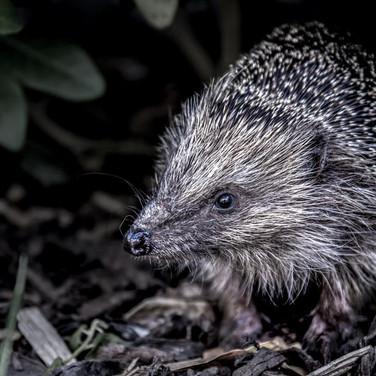 Hedgehog >>