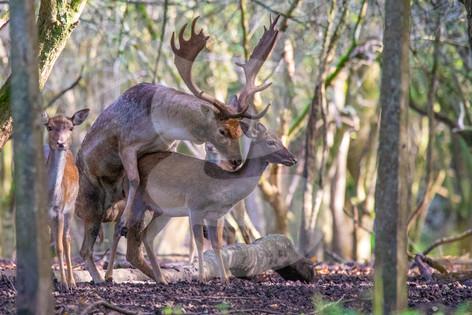 Mating fallow deer