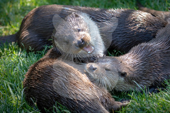 Play fighting otter