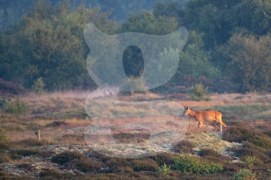 Roe deer at sunrise, Norfolk
