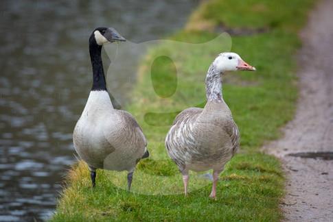 Leucistic Greylag and Canada Goose
