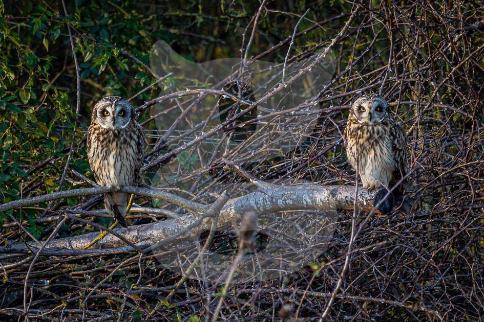 Short-eared Owl pair