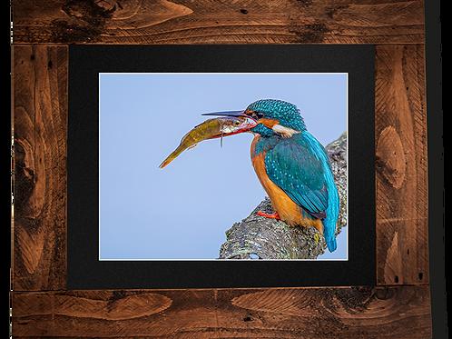 Kingfisher takes lunch - Framed artwork