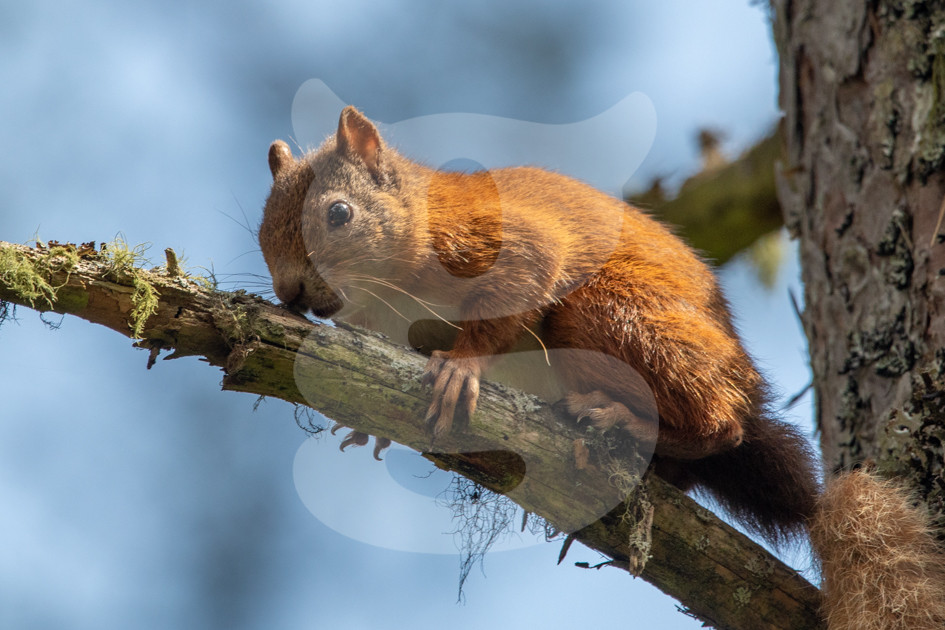 Red squirrel on small branch