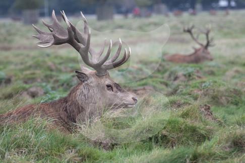 Pair of relaxing red deer stags