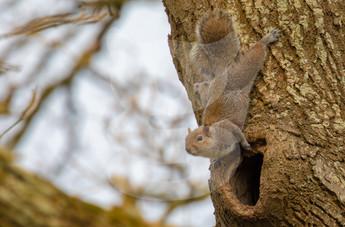Acrobatic grey squirrel investigating hole
