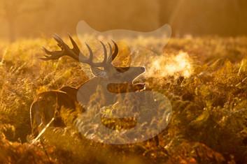 Sunrise red deer stag, Bushy Park