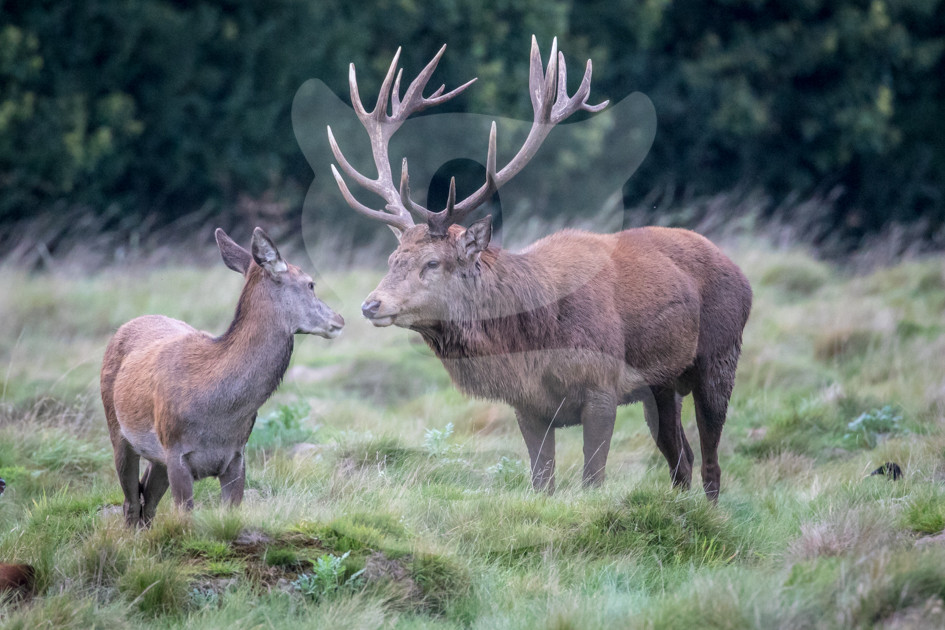 Red deer stag shares a tender moment with a hind