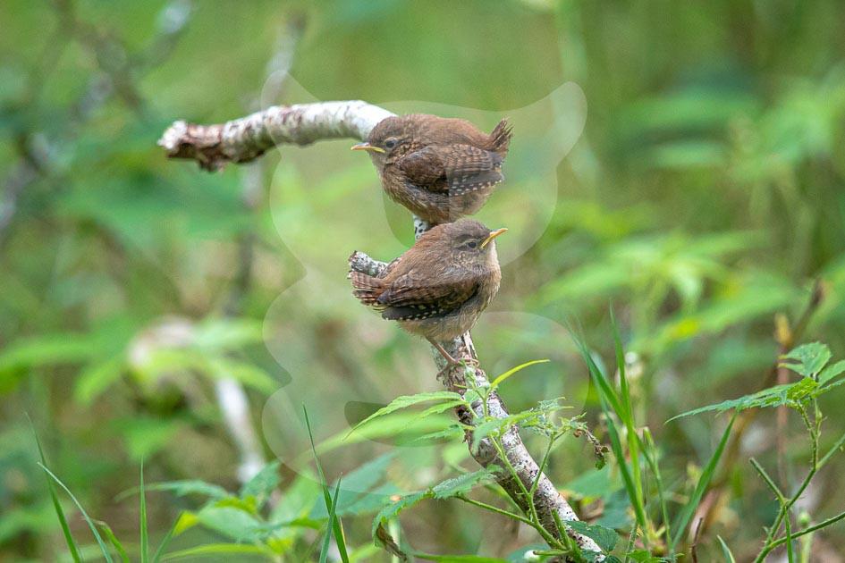 Wren juveniles
