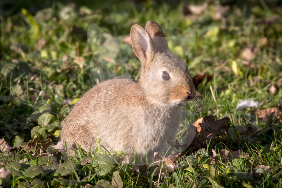 Young rabbit in the morning