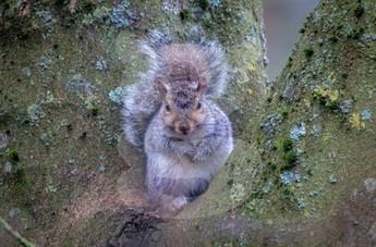 Grey squirrel in winter coat on branch
