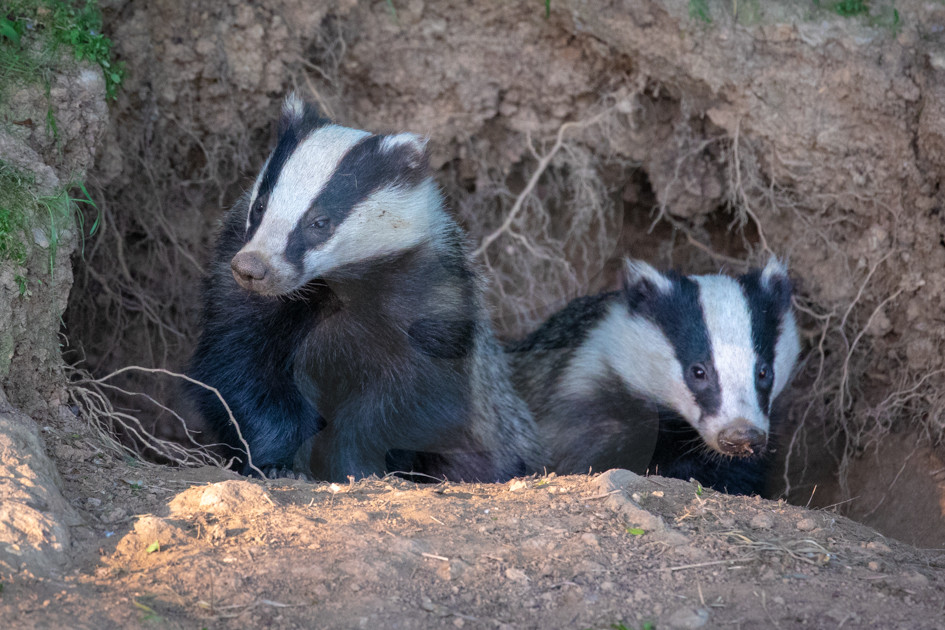 Two Badgers looking from sett