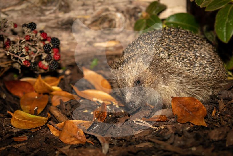 Hedgehog with blackberries